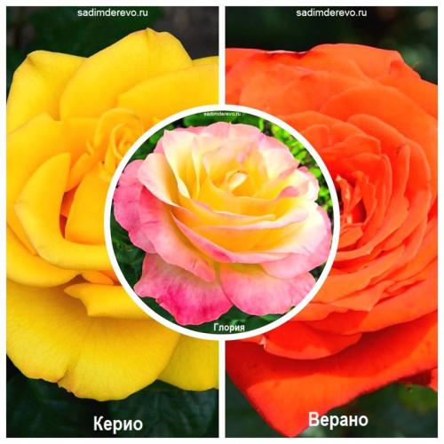 Роза - комплект саженцев из 3-х сортов: Роза Верано > Роза Глория > Роза Керио - отзывы и описание