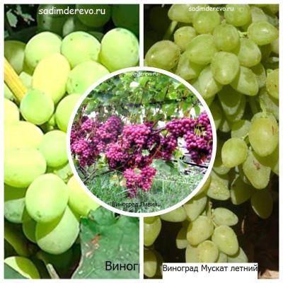Виноград - комплект из 3-х сортов: Виноград Ливия > Виноград Лора > Виноград Мускат летний