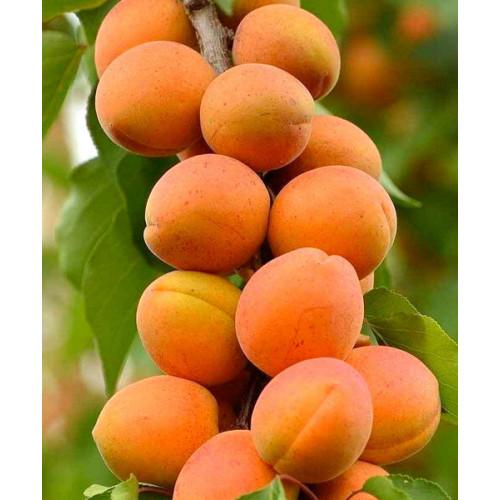 Саженцы Колоновидного абрикоса Солнечное лето - цена и описание