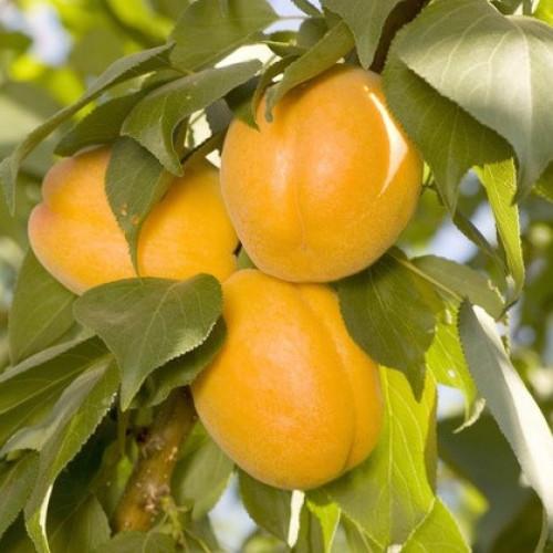 Саженцы Колоновидного абрикоса Априум - отзывы и описание