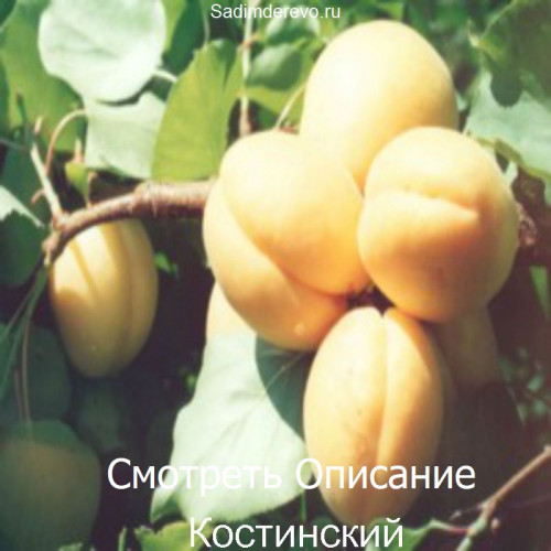 Саженцы Абрикоса Костинский - цена и описание