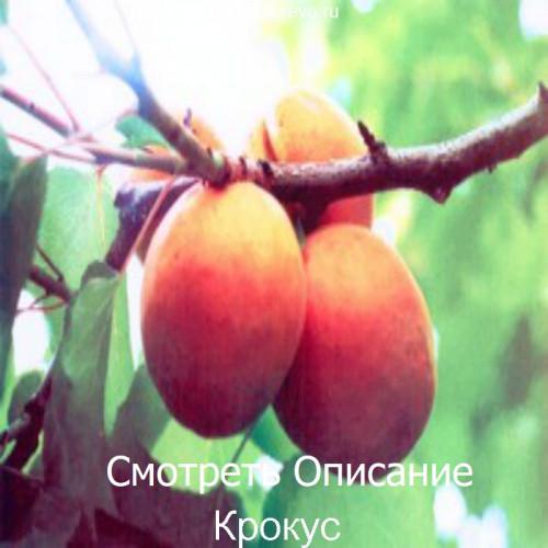 Саженцы Абрикоса Крокус - фото и описание