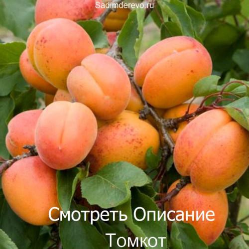 Саженцы Абрикоса Томкот - фото и описание