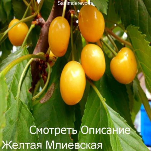 Саженцы Черешни Желтая млиевская - отзывы и описание