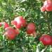 Саженцы Граната Гюлоша Розовая - фото и описание