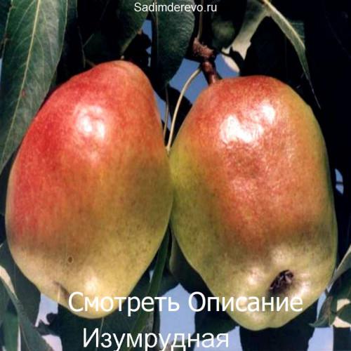Саженцы Груши Изумрудная - фото и описание