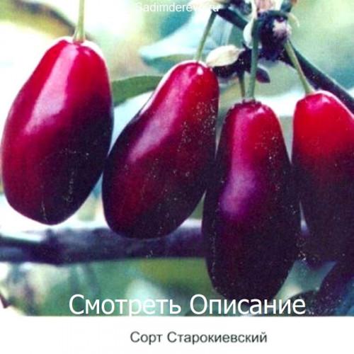 Саженцы Кизила Старокиевский - отзывы и описание