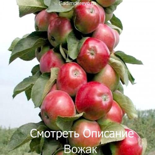 Саженцы Колоновидных Яблонь Вожак - фото и описание