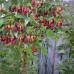 Саженцы Малины Таруса - фото и описание