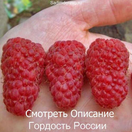 Саженцы Малины Гордость России - фото и описание