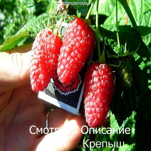 Саженцы Малины Крепыш - отзывы и описание