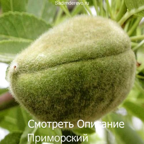 Саженцы Миндаля Приморский - фото и описание