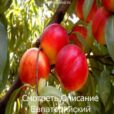 Нектарин Евпаторийский