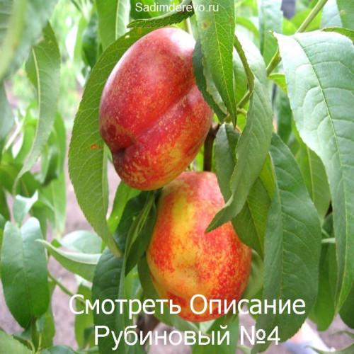 Саженцы Нектарина Рубиновый №4 - фото и описание