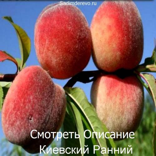 Саженцы Персика Киевский Ранний - отзывы и описание