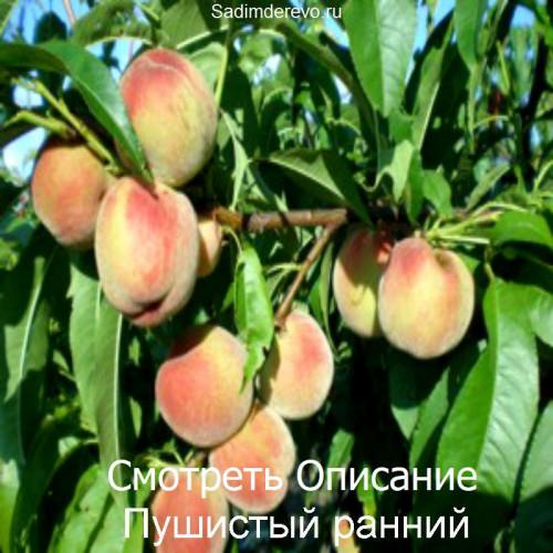 Саженцы Персика Пушистый ранний - цена и описание