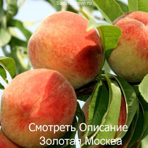 Саженцы Персика Золотая Москва - цена и описание