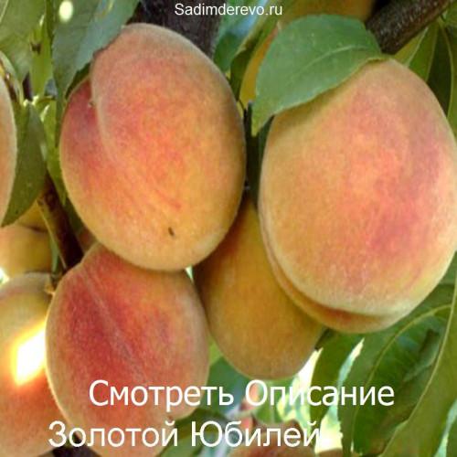 Саженцы Персика Золотой Юбилей - фото и описание