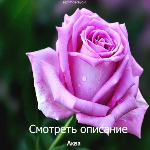 Саженцы Роз Аква - фото и описание