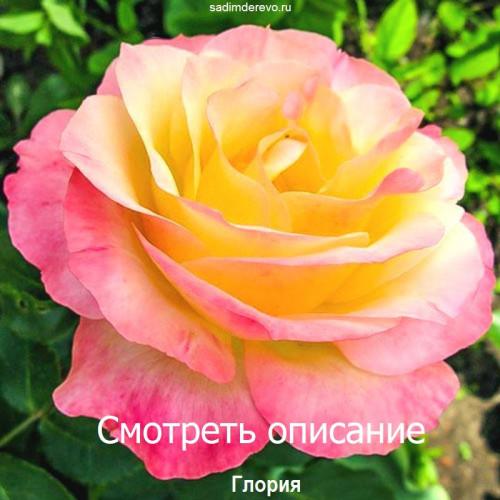 Саженцы Роз Глория - цена и описание