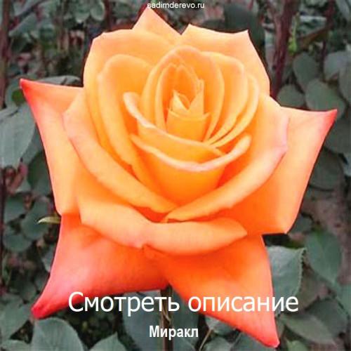 Саженцы Роз Миракл - фото и описание