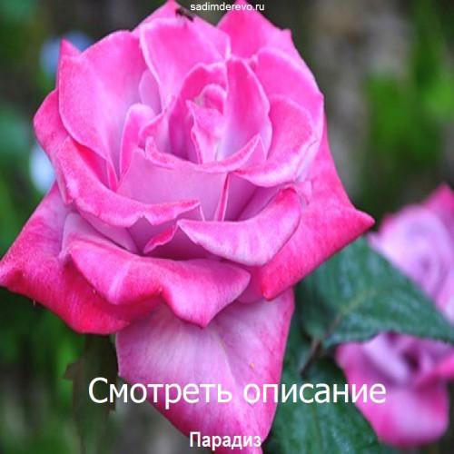 Саженцы Роз Парадиз - цена и описание