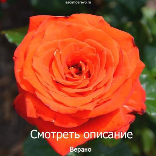 Саженцы Роз Верано - отзывы и описание