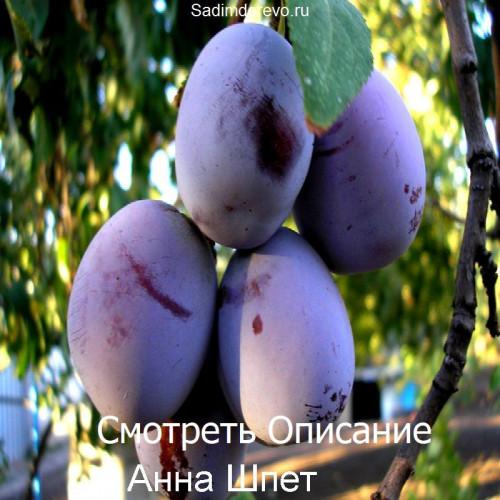 Саженцы Сливы Анна Шпет - фото и описание