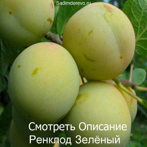 Саженцы Сливы Ренклод Зелёный - цена и описание