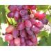 Саженцы Винограда Слава Молдовы - фото и описание