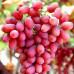 Саженцы Винограда Киш-миш красный - отзывы и описание