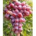 Саженцы Винограда Атаман - цена и описание
