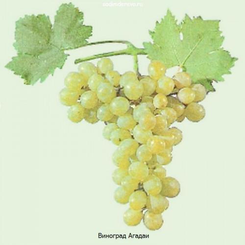 Саженцы Винограда Агадаи - цена и описание
