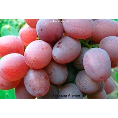 Виноград Атаман