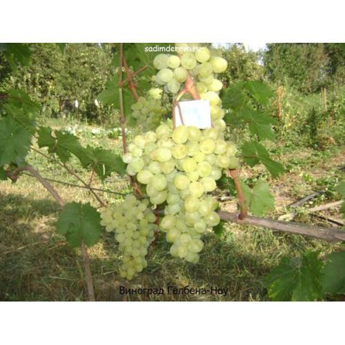 Саженцы Винограда Галбена-Ноу - цена и описание