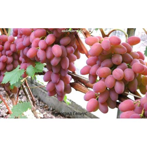 Саженцы Винограда Гелиус - фото и описание