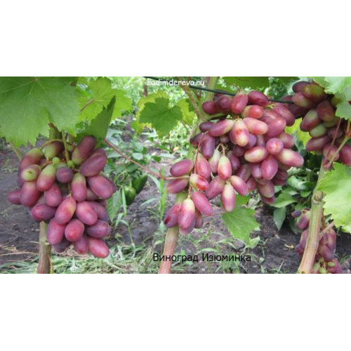 Саженцы Винограда Изюминка - отзывы и описание