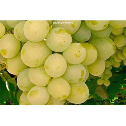 Саженцы Винограда Кеша - отзывы и описание