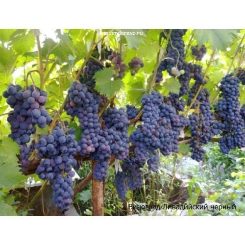 Саженцы Винограда Ливадийский черный - цена и описание