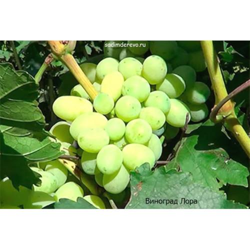 Саженцы Винограда Лора - отзывы и описание