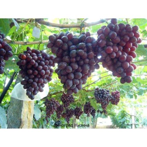 Саженцы Винограда Низина - фото и описание