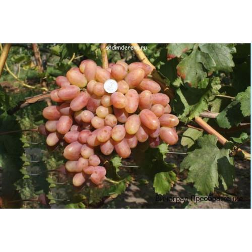 Саженцы Винограда Преображение - цена и описание
