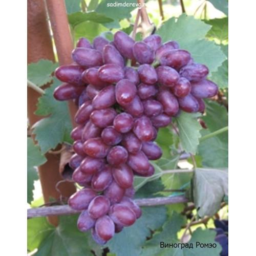 Саженцы Винограда Ромэо - фото и описание