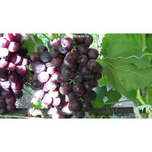 Саженцы Винограда Рошфор - отзывы и описание