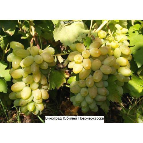 Саженцы Винограда Тимур - отзывы и описание