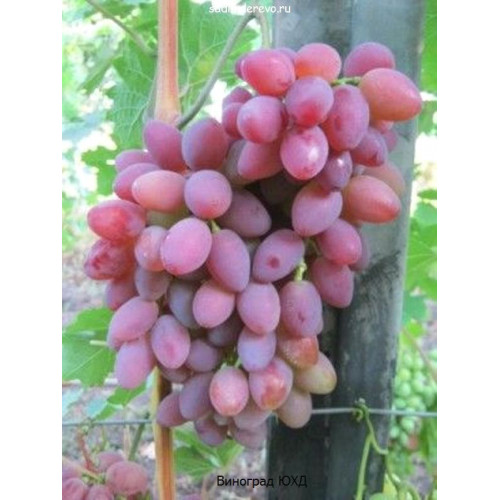 Саженцы Винограда ЮХД - отзывы и описание