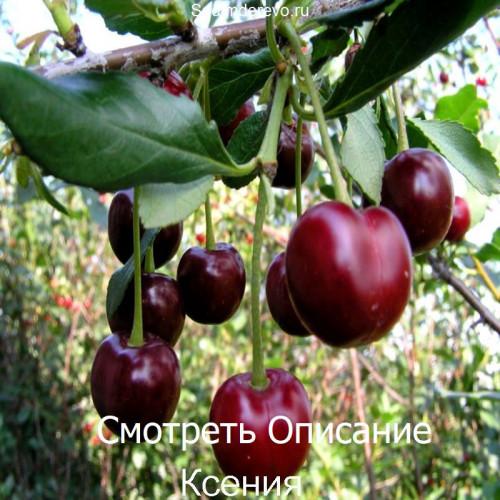 Саженцы Вишни Ксения - отзывы и описание