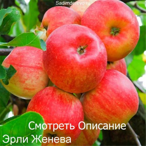 Саженцы Яблони Эрли Женева - фото и описание