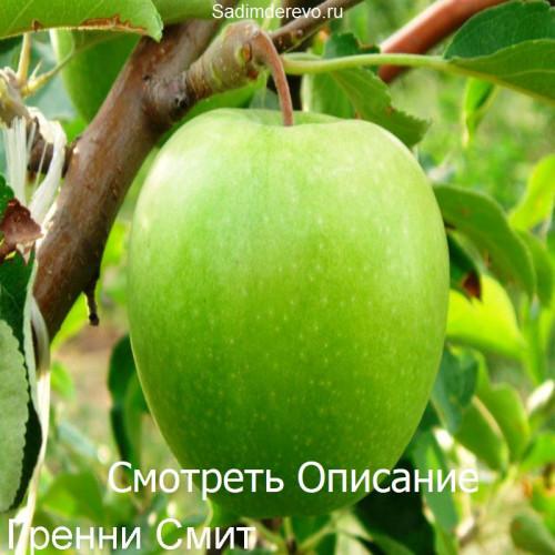 Саженцы Яблони Гренни Смит - фото и описание