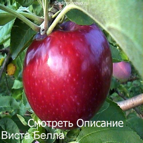 Саженцы Яблони Виста Белла - фото и описание